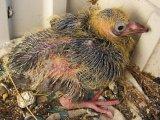 Pigeon Chick